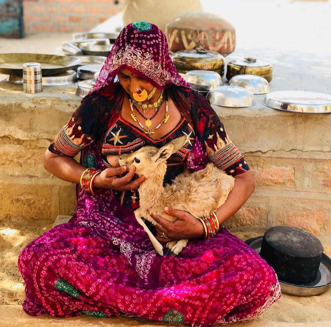 Bishnoi woman breastfeeding deer
